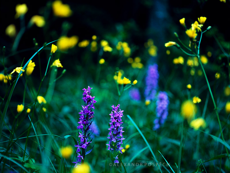Orchid-Meadow-in-the-Night