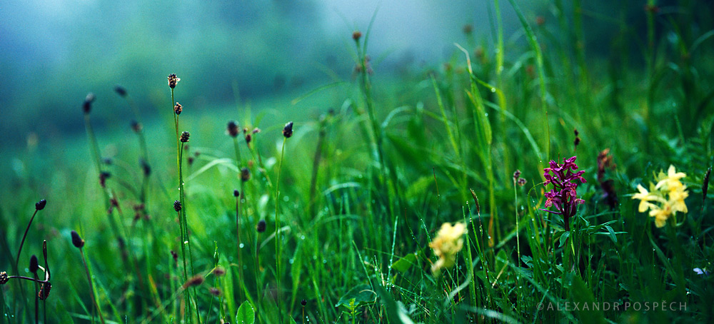 05 Orchids-Misty-Meadow-morning