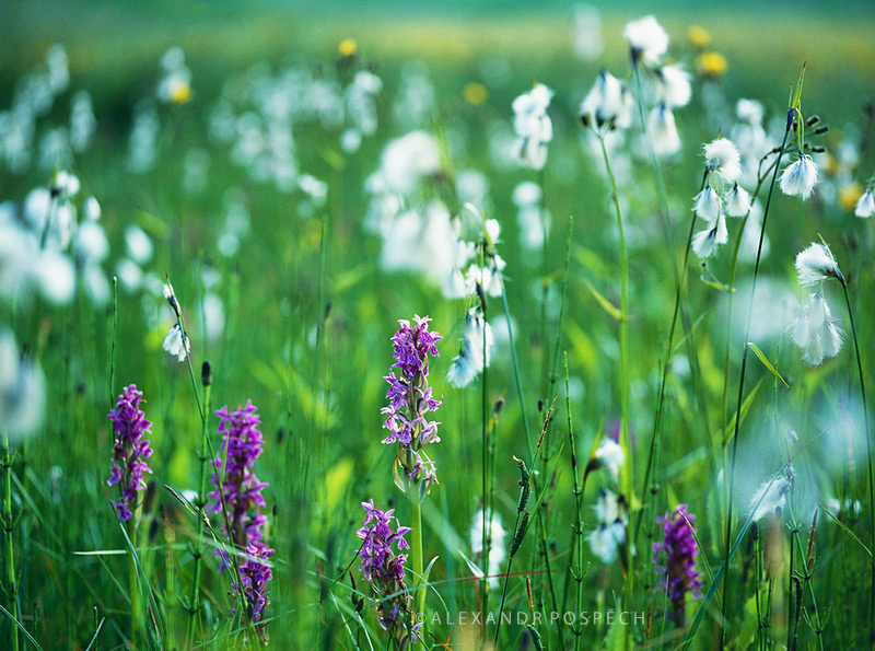 -Orchid-meadow-Eriophorum-cotton-grass