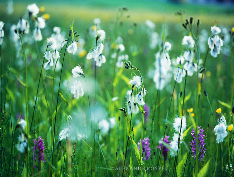 Orchid-meadow-Eriophorum-cotton-grass