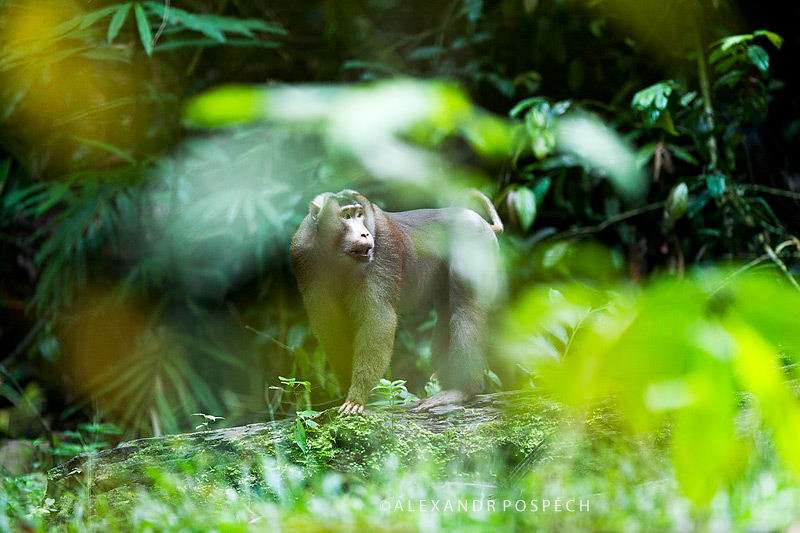 -Pig-tailed-macaque-Borneo-rainforest-Indonesia