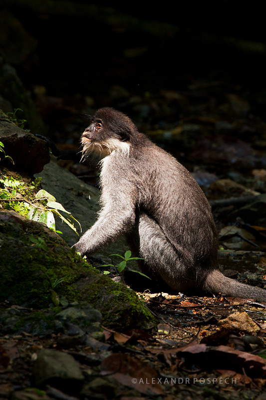 -Hose's-langur-Presbytis-hosei-Worlds-first-photos