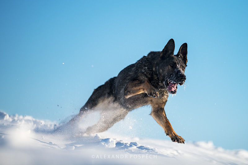 -german-shepherd-grey-action