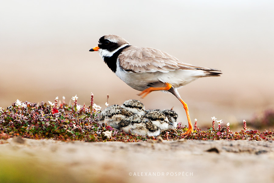 Ringed Plover family Svalbard Arctic