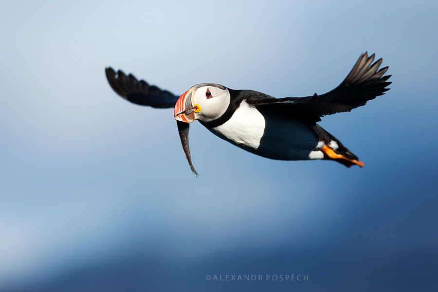 Atlantic Puffin fish Svalbard Arctic